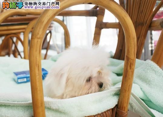 高品质马尔济斯犬带血统出售中质量三包可签协议