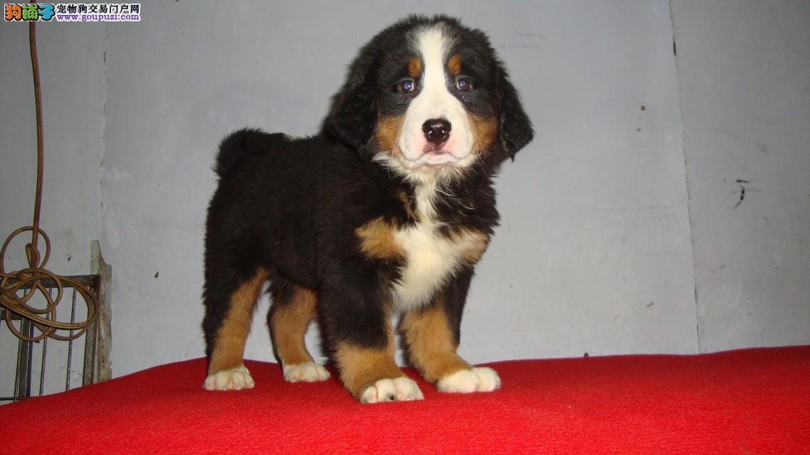 大型专业培育伯恩山幼犬包健康提供护养指导