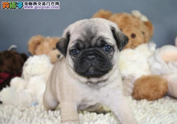 纯种超 可爱巴哥 犬宝宝- 低价热销中- 健康质保