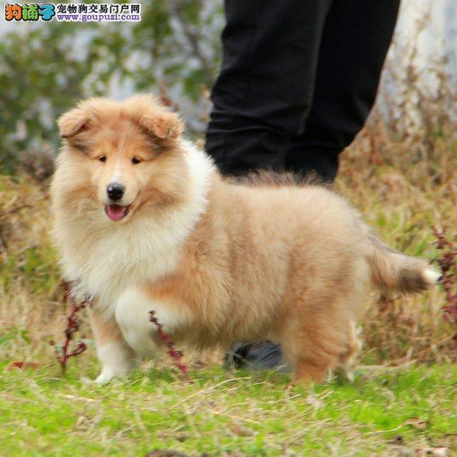 精品纯种精品苏牧幼犬 纯种健康专业狗场繁殖签协议