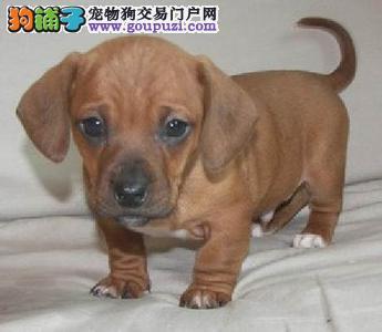 安岭出售腊肠犬颜色齐全公母都有办理血统证书