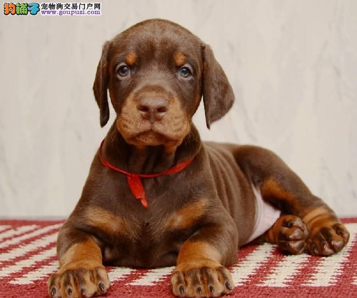 买纯种 国内顶级杜宾犬 三年联保签协议/赠狗狗户口