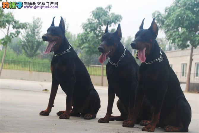 精品大骨量杜宾幼犬 实物拍摄 本地可免费送货签协议