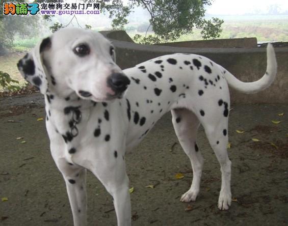 深圳哪里能买到纯种斑点狗 深圳宠物狗