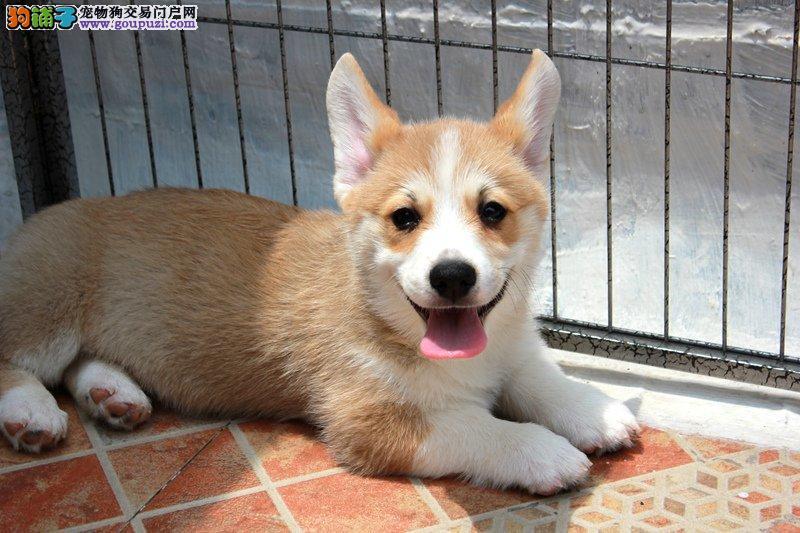 实物照片柯基犬 可见父母颜色齐全保纯种和健康