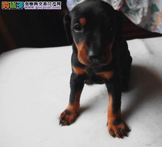 重庆出售纯种杜宾幼犬 健康保证 信誉保证 诚信保证