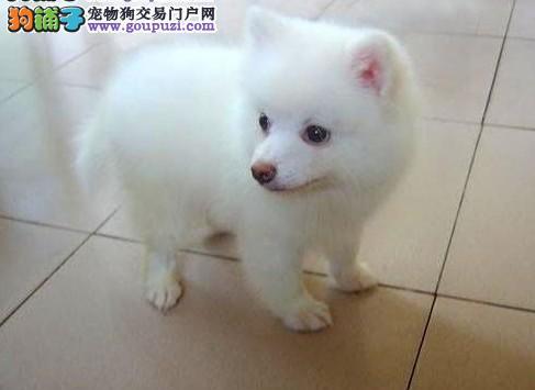 青岛出售尖嘴日本进口银狐犬 血统纯正