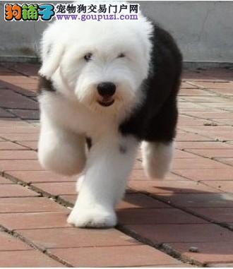 成都出售古代牧羊犬幼犬品质好有保障签订协议终身质保