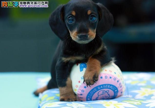 出售自家繁殖高品质可爱的腊肠幼犬/欢迎来犬舍选购