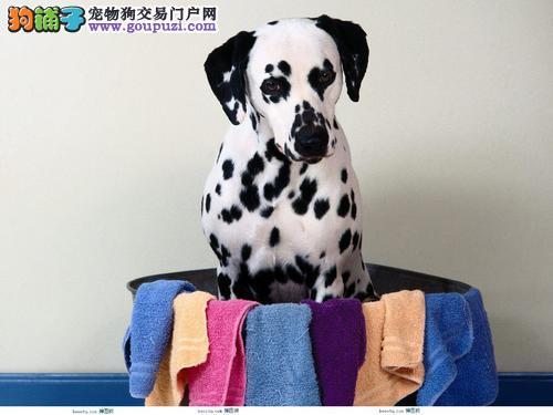 深圳哪里有狗场出售斑点犬