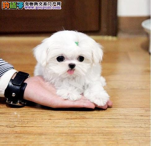 南京哪里有卖马尔济斯犬的 南京马尔济斯犬价格