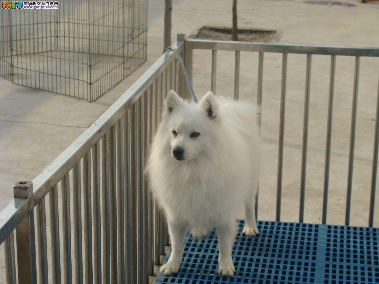 银狐犬出售 哪里出售银狐犬 银狐犬价格 哪里有卖