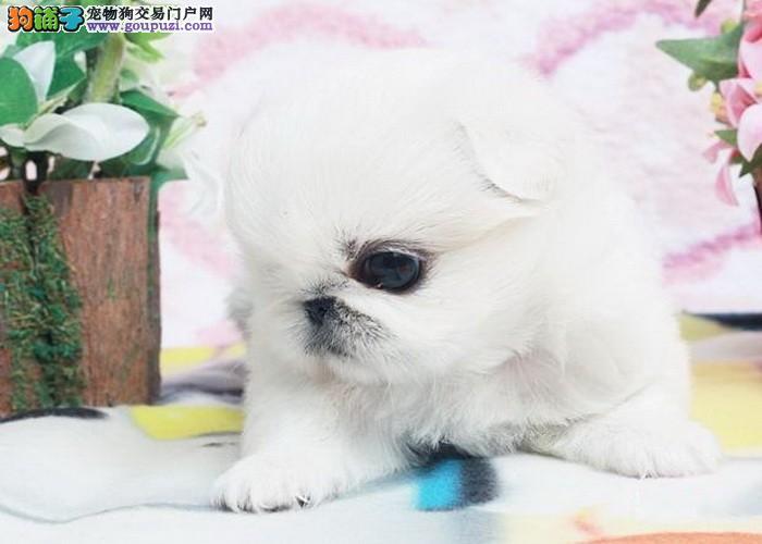 高贵的北京犬 京巴幼崽纯种健康的宝宝