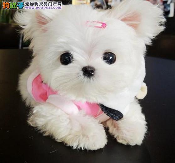 超可爱纯种马尔济斯幼犬 健康有保障
