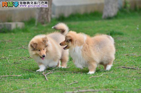 非常贴心,高贵美丽的苏牧幼犬找新家啦欲购从速哦