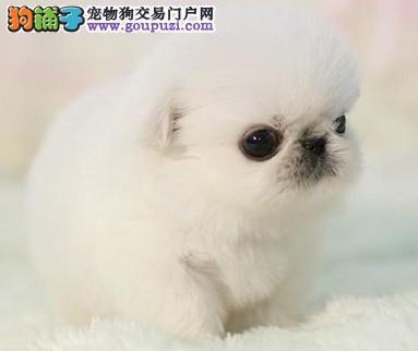 贵阳地区的朋友请注意含泪售极品京巴犬