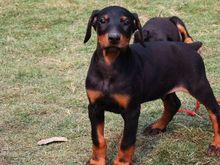 国际注册犬舍 出售极品赛级杜宾犬幼犬包养活包退换