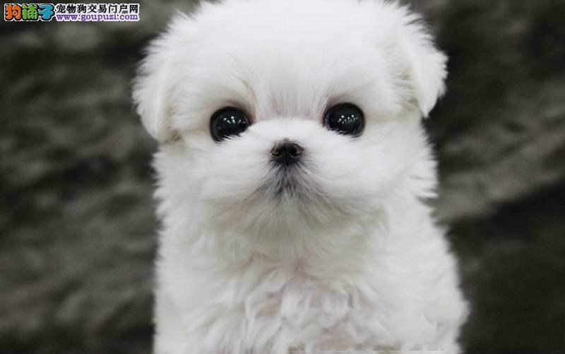 韩国引进刚出生纯种马尔济斯幼犬