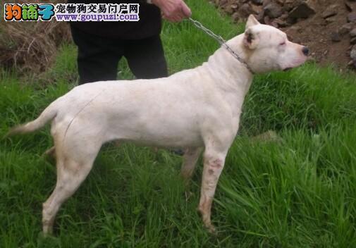 高品质的西安杜高犬找爸爸妈妈品质血统售后均有保障