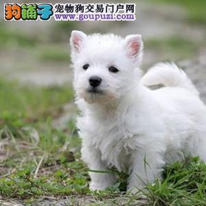 纯种西高地幼犬正规养殖基地出售 健康质保