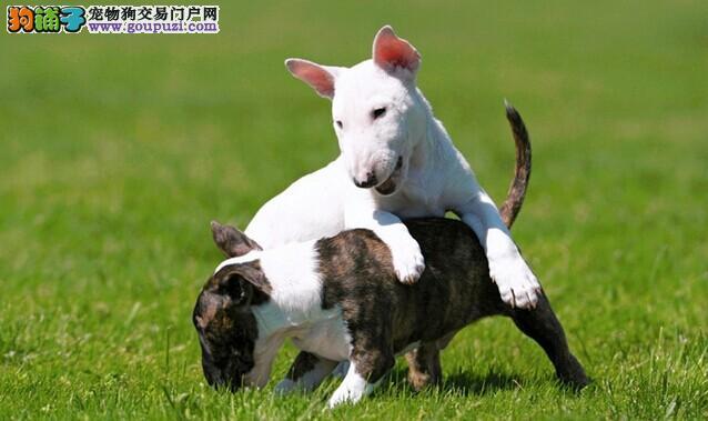 深圳哪里有卖牛头梗 深圳宠物狗