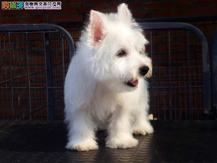 犬业出售纯种健康 西高地 等各种优质名犬欢迎选购