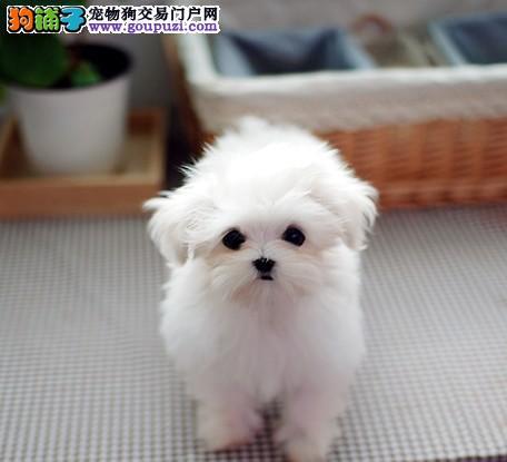 韩国进口真正的小体型马尔济斯犬 顶级血统品相一流