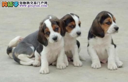 广州那里有卖纯种高品质比格犬 广州边度有卖比格犬