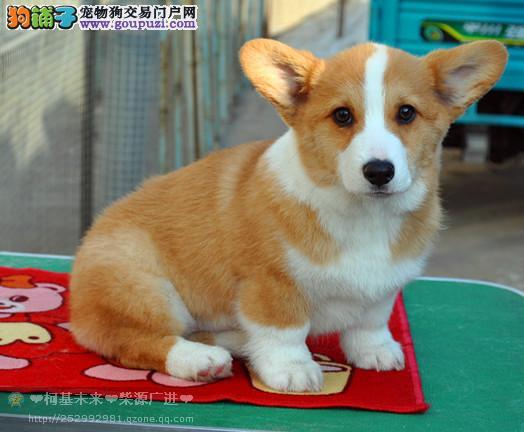 纯种威尔士柯基幼犬 买狗可签订协议 质保终身
