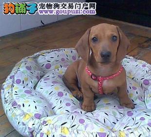 南京哪里出售腊肠犬 腊肠犬价格多少钱一只