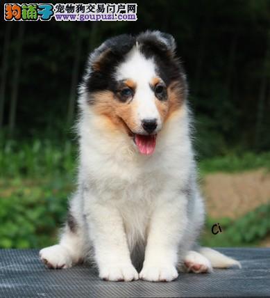 西安高品质喜乐蒂幼犬预订,先到先得!