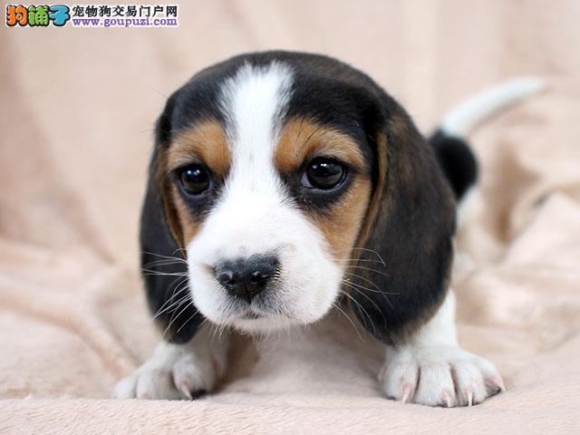 火爆出售血统纯正的郑州比格犬包养活包退换