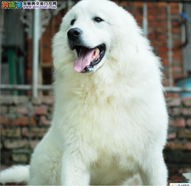 高品质的郑州大白熊找爸爸妈妈喜欢它的快来