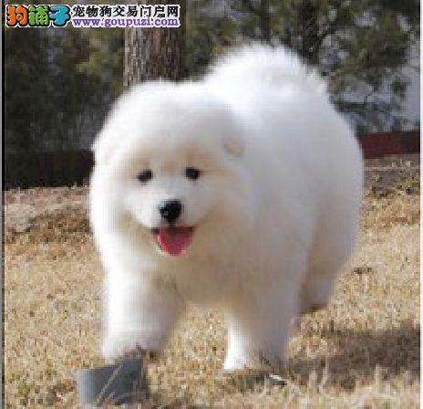 福州哪里买大白熊狗好一点推荐福州买狗的好地方