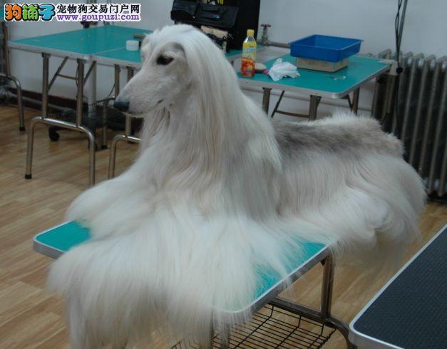 精品纯种阿富汗猎犬出售质量三包保障品质售后