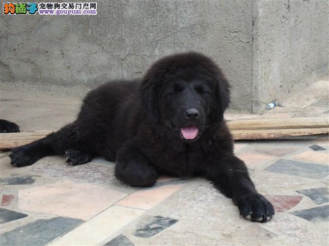 太原热销纽芬兰犬颜色齐全可见父母签订协议终身质保