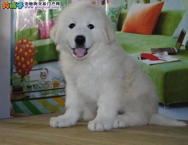 沉着、稳重外形酷似藏獒的大白熊幼犬健康保证