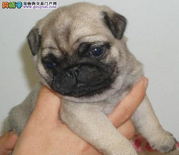 忠诚的伴侣犬八哥胖乎乎褶子很多