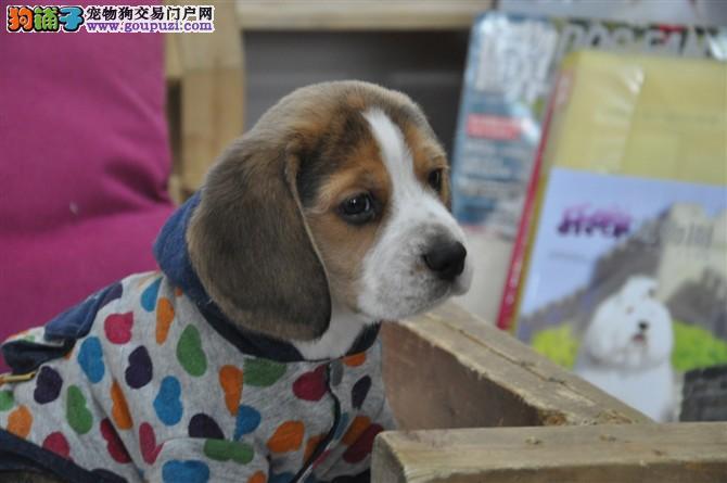 出售郑州比格犬健康养殖疫苗齐全下单有礼全国包邮