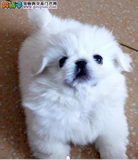 专业繁殖基地售顶级双冠京巴幼犬昆明市内免费送货