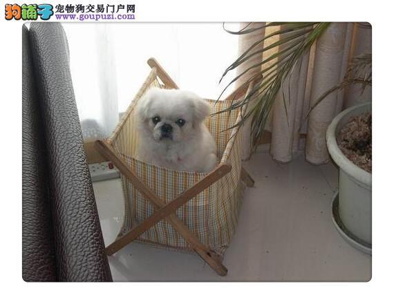 上海京巴犬出售上海哪里出售京巴犬上海京巴犬多少钱