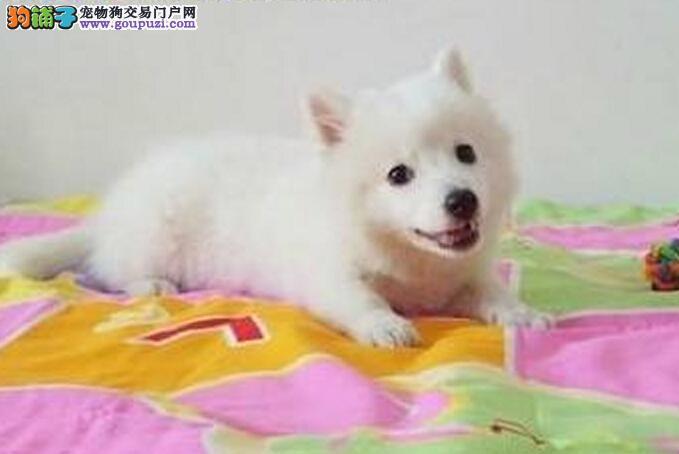 银狐幼犬 纯种 血统纯正疫苗齐全[三个月公母全有]