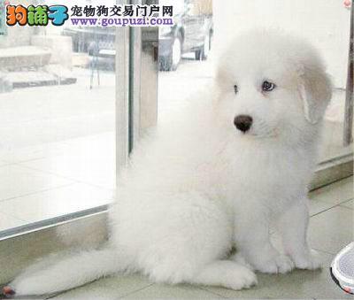长沙出售宠物宝宝大白熊 健康机灵 色泽靓丽 有保证