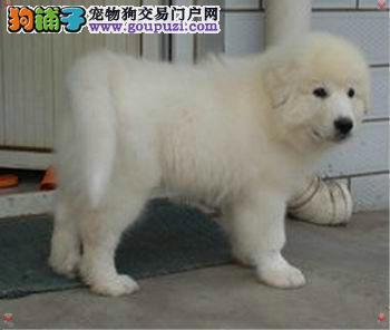 昆山花桥强子繁殖基地现有大白熊犬宝宝出售要的联系