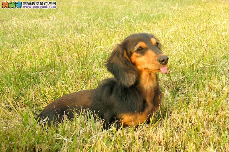 成都哪里有卖腊肠犬的 成都腊肠犬价格 多少钱一只
