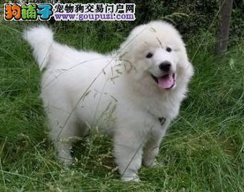 成都哪里有卖大白熊犬的 成都大白熊犬价格 多少钱