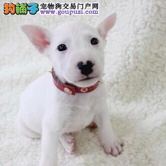 牛头梗犬 武汉出售纯种名犬牛头梗幼犬 宠物狗狗