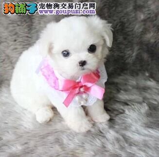 南昌出售极品马尔济斯幼犬完美品相下单有礼全国包邮