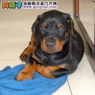 武汉纯种杜宾犬高品质 完售后~