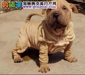 纯种沙皮幼犬好可爱喜欢联系保健康